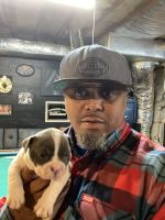 American Bully Puppies for sale in Clarksville, TN, USA. price: NA