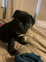 American Bully Puppies for sale in Syracuse, NY, USA. price: NA