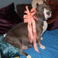 American Bully Puppies for sale in Buckeye, AZ, USA. price: NA