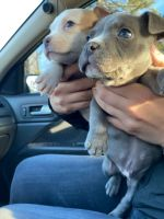 American Bully Puppies for sale in Wake Forest, NC 27587, USA. price: NA