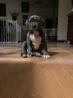 American Bully Puppies for sale in Okeana, OH 45053, USA. price: NA