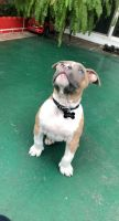 American Bully Puppies for sale in Stanton, CA, USA. price: NA
