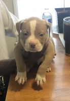 American Bully Puppies for sale in Bakersfield, CA, USA. price: NA