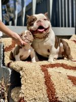 American Bully Puppies for sale in Cleveland, OH, USA. price: NA