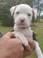 American Bully Puppies for sale in Bethune, SC 29009, USA. price: NA