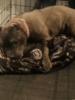 American Bully Puppies for sale in Villa Rica, GA 30180, USA. price: NA