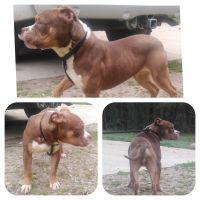 American Bully Puppies for sale in McDonough, GA, USA. price: NA