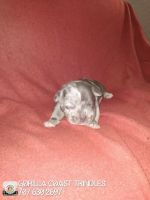 American Bully Puppies for sale in Portland, OR, USA. price: NA