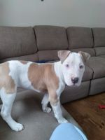American Bully Puppies for sale in Mason City, IA 50401, USA. price: NA