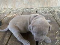 American Bully Puppies for sale in Valdosta, GA, USA. price: NA