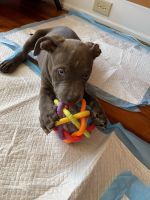 American Bully Puppies for sale in Allentown, PA 18109, USA. price: NA