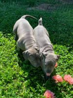 American Bully Puppies for sale in Kansas City, MO, USA. price: NA
