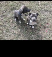 American Bully Puppies for sale in Princeton, NJ, USA. price: NA
