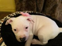 American Bully Puppies for sale in Rochester, NY, USA. price: NA