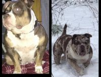 American Bully Puppies for sale in Seaford, DE 19973, USA. price: NA