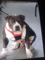 American Bully Puppies for sale in Lincoln Center, Stockton, CA 95207, USA. price: NA