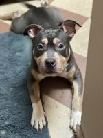 American Bully Puppies for sale in Columbia, MO, USA. price: NA