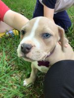 American Bully Puppies for sale in Spring, TX 77373, USA. price: NA