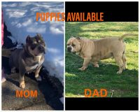 American Bully Puppies for sale in Laurel, MD 20723, USA. price: NA
