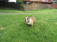 American Bully Puppies for sale in UPR MARLBORO, MD 20774, USA. price: NA