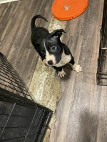 American Bully Puppies for sale in St. Louis, MO, USA. price: NA