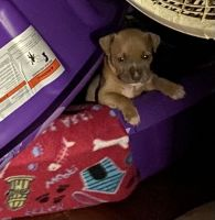 American Bully Puppies for sale in Winchester, VA 22602, USA. price: NA