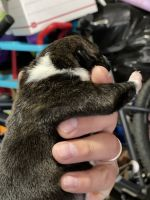 American Bully Puppies for sale in Salinas, CA, USA. price: NA