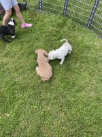 American Bully Puppies for sale in Crittenden, KY, USA. price: NA