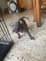 American Bully Puppies for sale in Corpus Christi, TX, USA. price: NA