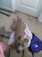 American Bully Puppies for sale in Dallas, GA, USA. price: NA