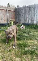 American Bully Puppies for sale in Boise, ID, USA. price: NA