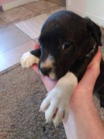 American Bully Puppies for sale in Toppenish, WA 98948, USA. price: NA