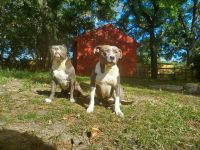 American Bully Puppies for sale in Fayetteville, NC, USA. price: NA