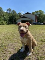 American Bully Puppies for sale in St Marys, GA 31558, USA. price: NA