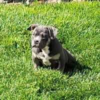 American Bully Puppies for sale in Fairfield, CA, USA. price: NA