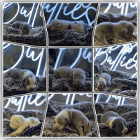 American Bully Puppies for sale in Honolulu, HI, USA. price: NA