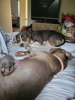 American Bully Puppies for sale in Huntsville, AL, USA. price: NA