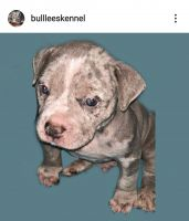 American Bully Puppies for sale in Paulsboro, NJ 08066, USA. price: NA
