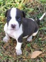 American Bully Puppies for sale in Michigan City, IN, USA. price: NA