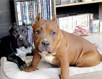 American Bully Puppies for sale in Holland, MI 49423, USA. price: NA
