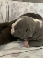 American Bully Puppies for sale in Las Vegas, NV, USA. price: NA
