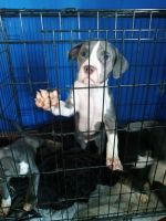 American Bully Puppies for sale in Central Falls, RI 02863, USA. price: NA