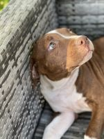 American Bully Puppies for sale in Chandler, AZ 85224, USA. price: NA