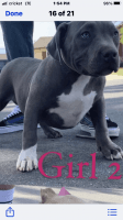 American Bully Puppies for sale in Chino, CA, USA. price: NA