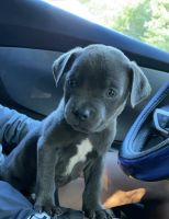 American Bully Puppies for sale in Richmond, VA 23220, USA. price: NA