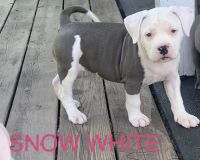 American Bully Puppies for sale in Shinnston, WV 26431, USA. price: NA