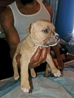 American Bully Puppies for sale in Newark, NJ, USA. price: NA