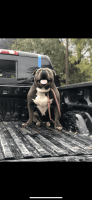 American Bully Puppies for sale in Baton Rouge, LA, USA. price: NA