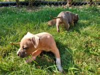 American Bully Puppies for sale in Creedmoor, NC 27522, USA. price: NA