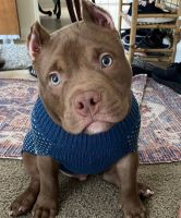 American Bully Puppies for sale in Florence, OR 97439, USA. price: NA